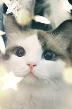 This cute and mysterious little animal of cat has always been one of human favorite pets. cats are small in size and are indoor animals,… Cute Baby Cats, Cute Baby Animals, Animals And Pets, Funny Animals, Kittens And Puppies, Cute Cats And Kittens, Kittens Cutest, Pretty Cats, Beautiful Cats