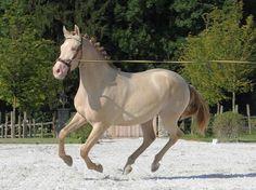Amerang Castle Stud, PRE Stallion Astuto (EE Aa CrPr) Buckskin Pearl.