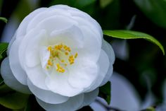 白い椿|フリー写真素材・無料ダウンロード-ぱくたそ