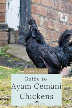 Ayam Cemani chickens are famous for their striking all-black appearance. Learn everything you need to know about this stunning breed. Types Of Chickens, Raising Backyard Chickens, Backyard Chicken Coops, Keeping Chickens, Black Chickens, Urban Chickens, Chickens And Roosters, Pet Chickens, Raising Ducks