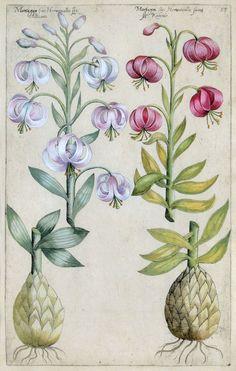 Martagon fine Hemorcallis. Emanuel Sweert. From Florilegium Amplissimum et Selectissimum, Frankfurt-am-Main, 1612.