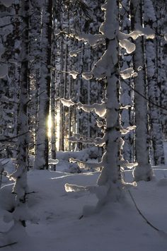 snow laden forest