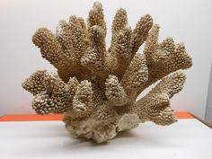 "Large 10"" x 8"" Natural Cauliflower Coral Beautiful!"