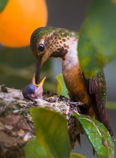 all in Bokeh — animal-photographies: Bird Feeding Lonesome Dove, Dove Bird, Birds Of Prey, Birds 2, Bird Wings, North And South America, Rare Birds, Cockatiel, Parakeet