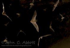 Tadarida brasiliensis (Mexican Free-tailed Bat) (© Copyright John C. Abbott)