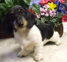 Black and tan wirehaired piebald miniature dachshund. LOVE