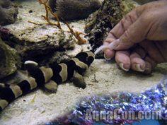 Aquarium Sharks, Marine Aquarium Fish, Saltwater Aquarium Fish, Diy Aquarium, Aquarium Design, Marine Fish, Cat Shark, Shark Tank, Small Saltwater Tank