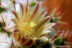 Mammillaria nejapensis flower :)