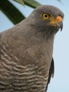 Roadside Hawk / buse à gros bec (Buteo magnirostris), the smallest hawk, 12 subspecies, breeds from Mexico south through most of S.Am. east of the Andes.