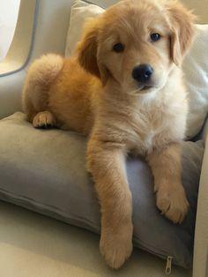 Cutest Golden retriever !                                                                                                                                                                                 More
