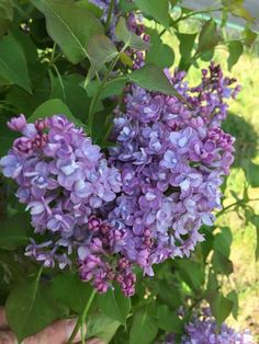 The Best New Perennials and Shrubs For 2019 Super Fragrant Double Blue Lilac (Syringa) Large Flowers, Colorful Flowers, Beautiful Flowers, Tropical Flowers, Spring Plants, Blooming Plants, Blooming Flowers, Large Plants, All Plants