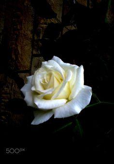 Beyaz gül - Beyaz gül,doğada narin ve beyaz olarak açan güller içinde kokusu ve rengiyle çok etkili bir çiçektir.