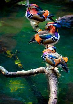Patos de colores by Alan Shapiro - Color Ducks. Beautiful colors