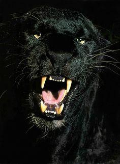 Black Panthers - black-panthers Photo