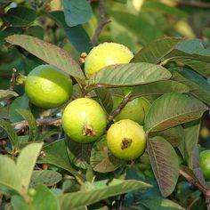 Guava Seeds (Psidium guajava) + FREE Bonus 6 Variety Seed Pack - a $30 Value!