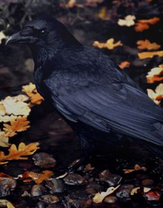 black crow and autumn leaves Crow Bird, Quoth The Raven, Raven Art, Jackdaw, Crows Ravens, All Birds, Foto Art, Kraken, Magpie