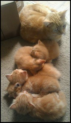 Ginger family (cats, beauty)