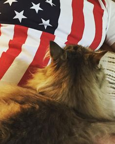 Happy 4th!  #catvonzion #cat #pet #catagram #instacat #meow #siberiancat #siberiancatofinstagram #ilovemycat #catlover #4thofjuly #independenceday