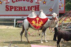 Camel, Horses, Animals, Animales, Animaux, Camels, Animal, Animais, Horse
