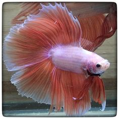 AquaBid.com - Item # fwbettasdt1452412806 - **Pink double tail 0011** By Bettatommy99 - Ends: Sun Jan 10 2016 - 02:00:06 AM CDT