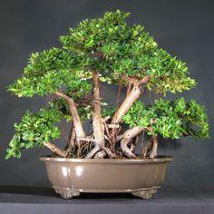 Green Island Ficus Bonsai (Ficus Microcarpa)