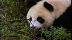 Wolong's Pandas | Science | Classroom Resources | PBS Learning Media--USE WITH OTHER MULTI-MEDIA AND PRINT SOURCES ON THE SITE TO COMPARE/CONTRAST.