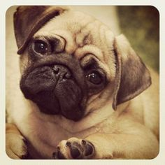 What an adorable, sweet face.  Look at those eyes! #pug