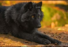 """(thinking) """" Why us why this......why do hunters ALWAYS hunt US...... I just don't know what  went WRONG....""""  (howling) """"WHAT DID WE DO WRONG!!!!!!!!!!!!"""""""