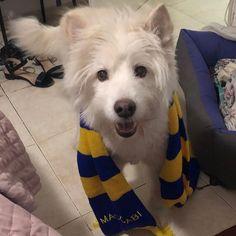 Say hello to the new @maccabitlvfc mascot: Angie!  (Ravenpuff)...   Say hello to the new @maccabitlvfc mascot: Angie!  (Ravenpuff)  #TheLoveOfMyLife #angie #dog #doggy #dogs #dogstagram #pet #instadog #instapet #whitedog #dogoftheday #doglover #petstagram #dogsofinstagram #ilovemydog #fluffydog #cutedog #smilingdog #samoyed #terrier #husky #doggo #fluffer #mixedbreed #terriermix #westie #westiesofinstagram #westiegram Terrier Dog Breeds, Terrier Mix, Fluffy Dogs, Smiling Dogs, Samoyed, White Dogs, Mixed Breed, Westies, Say Hello