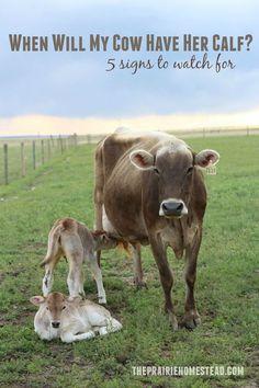 What are some tips for bottle feeding calves?