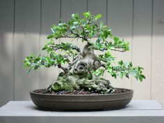 bonsai-Ficus microcarpa sumo 7-26-09 by OpenEye, via Flickr