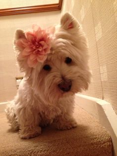 My lil princess #westie ella es adorable
