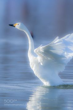 Swan Lake - Pinned by Mak Khalaf Animals animalanimalsazuminobirdbirdsjapanlakemorningnaganoskyswanwaterwildlifewinter by tatsuoyamaguchi