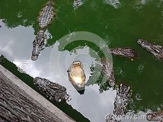 The Feeding Of Crocodiles - Download From Over 47 Million High Quality Stock…