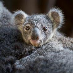 Ohhhh! Baby Koala!