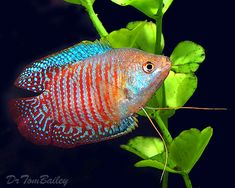 Gourami | ... at AquariumFish.net, where you can shop online for a Dwarf Gourami