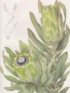 Fay Anderson - Protea Coronata