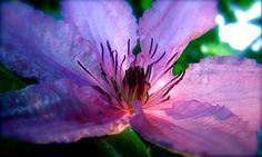 Photograph: TWILIGHT Purple Clematis floral close focus macro single blossom