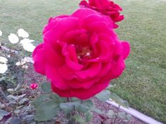 Abe Lincoln Rose