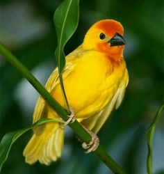 Golden weaver bird
