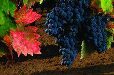 Villa Matilde wine estate Campania Italy