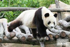 Yuan Zi, panda géant