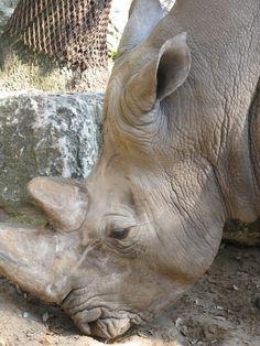 Rhinocéros du zoo de La Palmyre | Pays Royannais Charente-Maritime Tourisme #charentemaritime | #zoo | #LaPalmyre | #animaux