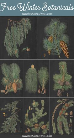 These 10 free winter botanical printables have a timeless, vintage look, and they're perfect to display all winter long on a gallery wall or individually! Vintage Botanical Prints, Vintage Art Prints, Botanical Posters, Botanical Drawings, Botanical Illustration, Vintage Posters, Vintage Images, Printable Vintage, Printable Wall Art