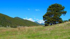 Ponderosa Pine, Noble Meadow
