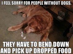 funny golden retriever   rule
