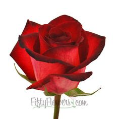 FiftyFlowers.com - Rich Red Tinto Rose