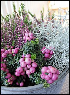Marjakanerva ja hopealehtisiä kasveja sekaan, istuta kesäkukkien ruukkuun ja multaan syysistutus