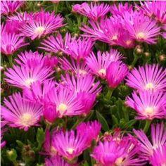 Bíborvörös délvirág virágok - Delosperma cooperi Delosperma Cooperi, Geraniums, Plants, Plant, Planets