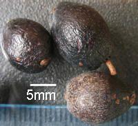 Aextoxicon punctatum - OLIVILLO